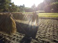 2013稲刈り10