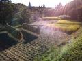 2013稲刈り13