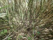 P7040162‗尾根上は笹藪