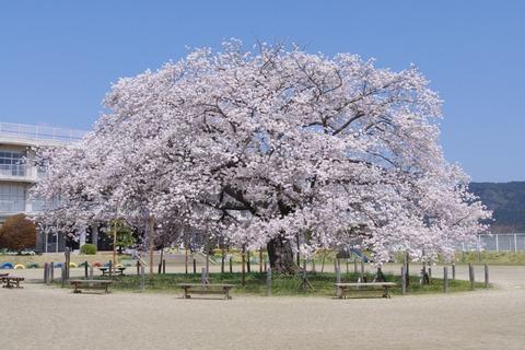桜の木になろうのPV見ると泣けてくる・・【AKB48】