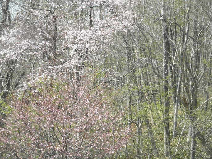 緑風園の桜2