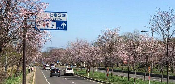 登別温泉街道の桜