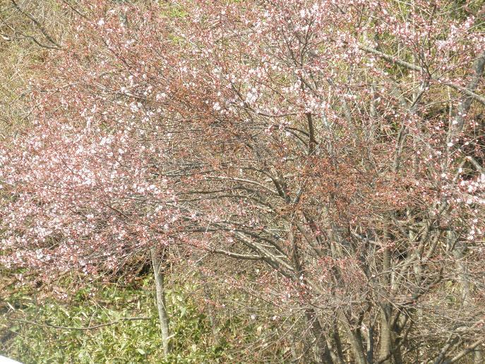 緑風園の桜3