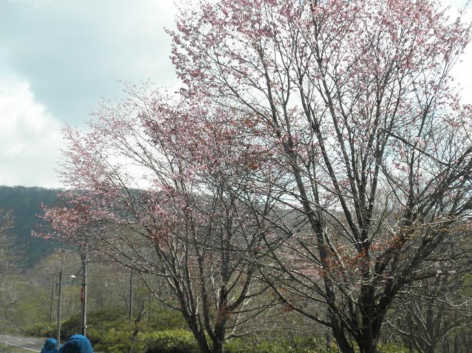 緑風園の桜