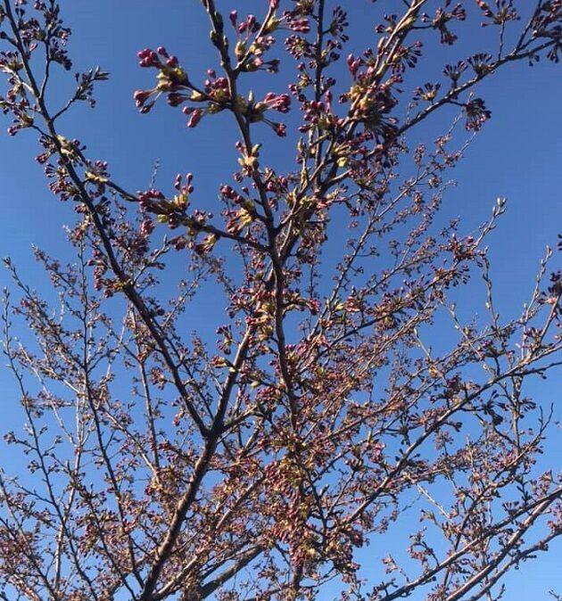 4/27の自宅近くの桜