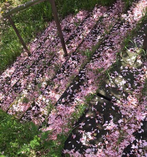 5/24登別の散り始めた桜の絨毯