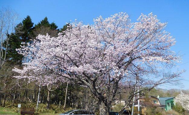 わかさいも本舗前の一本桜
