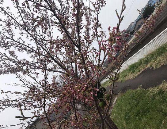 4/29の自宅近くの桜