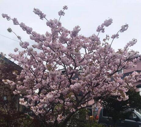 5/13朝の自宅前の八重桜