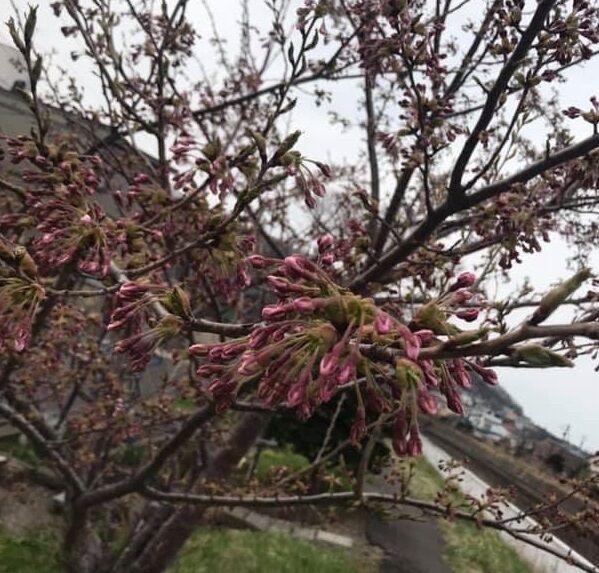 4/28の自宅近くの桜