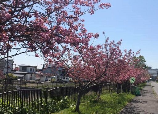 5/14室蘭市高砂町の八重桜並木