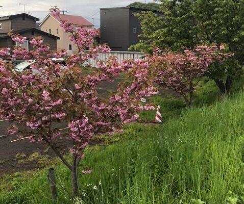 5/22鷲別川沿いの八重桜
