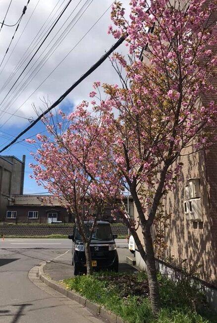 5/10の登別の桜