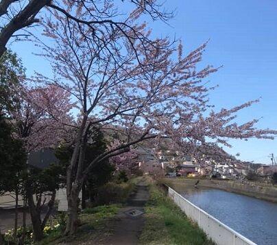 登別市鷲別町の桜