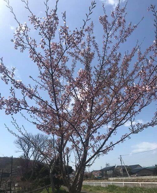 5/1の自宅近くの桜