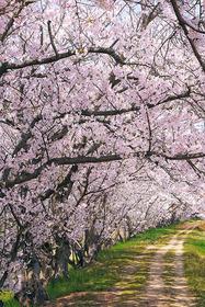 cherry-blossom_00626