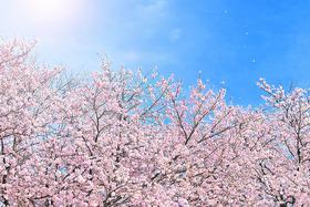 cherry-blossom_00009