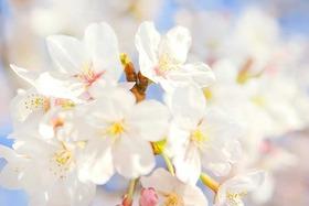 cherry-blossom_00134