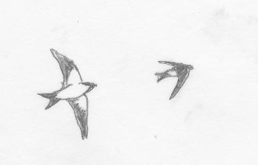 イワツバメ飛翔