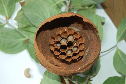 コガタスズメバチの巣途中