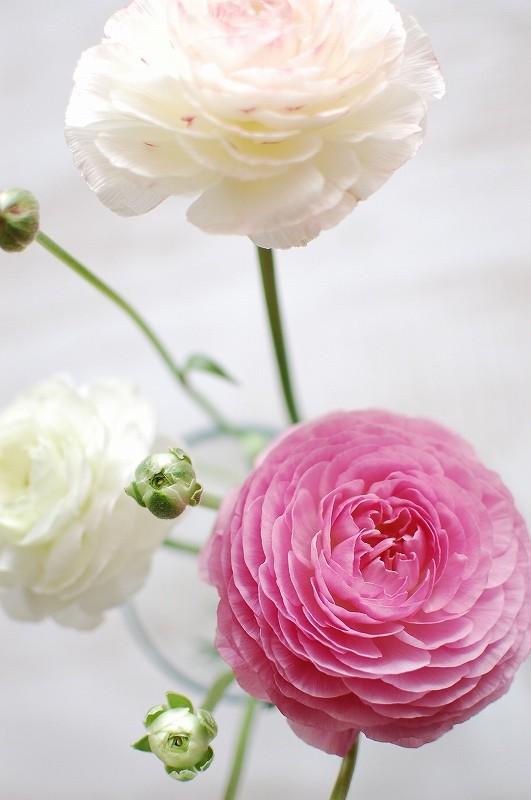 ラナンキュラスの花が大きく開きました。