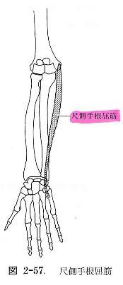 尺側手根屈筋