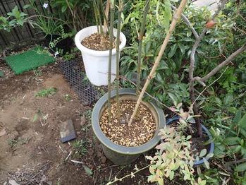 竹植え替え