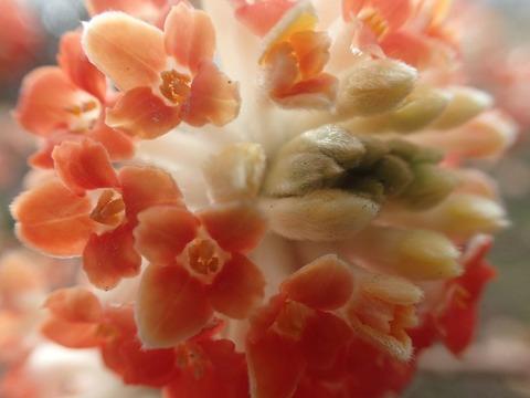 赤花ミツマタ4.5.1