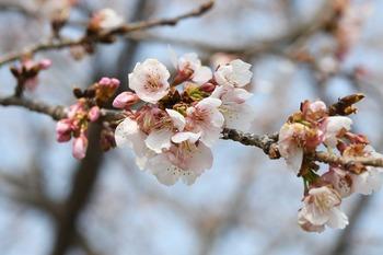 安行桜002