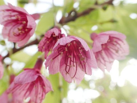 琉球桜4.5