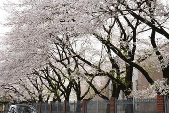 文教学院桜1