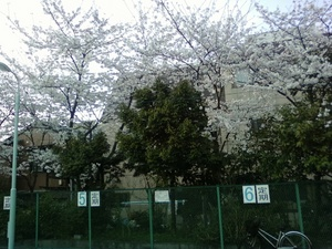 駐輪場の桜