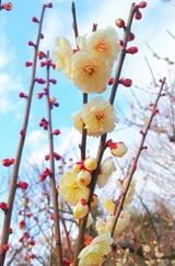 太陽観望会&梅が咲いた