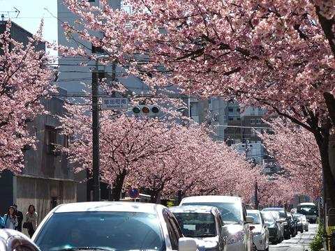 名古屋市内で1番早く花見ができる名所 東区泉の「オオカンザクラの並木道」が満開!