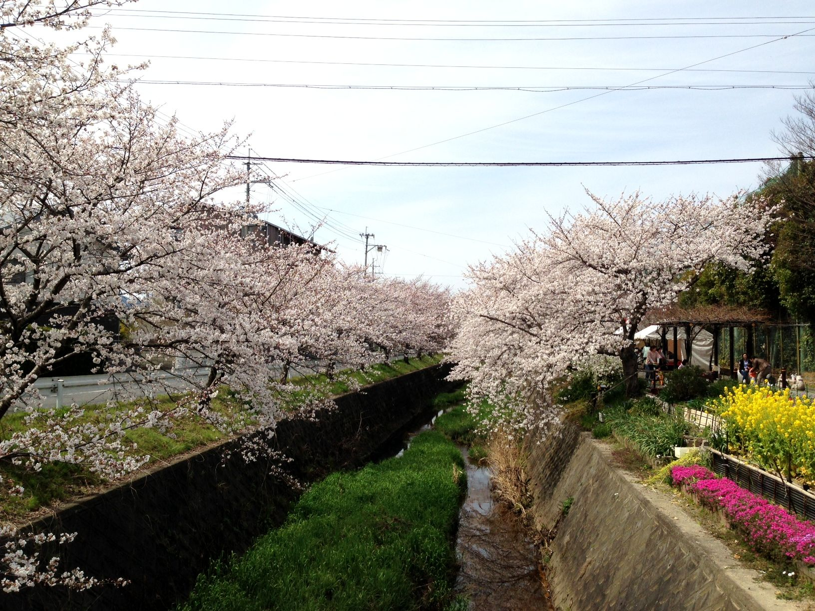 長沢川と桜。(滋賀県大津市瀬田北中学校前の長沢川)