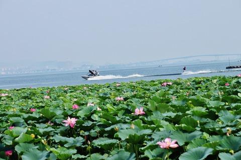夏のハス群生地(草津市水生植物園付近)