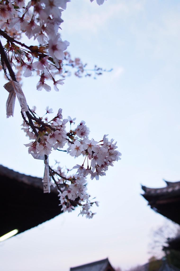 願掛け桜(滋賀県大津市/三井寺)