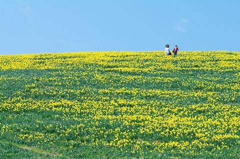 春告げる水仙の丘(大津市/びわ湖バレイ)