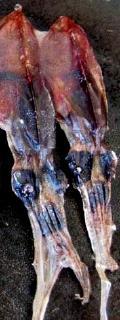 pict-ホタルイカ干物-1