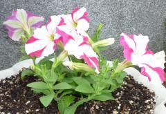 pict-咲き始めたペチュニア