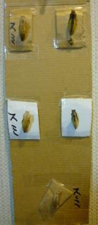 pict-P1030918キアゲハのサナギA