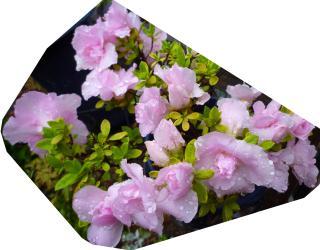 pict-アザレア(ピンク八重)