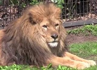 pict-ライオン-1