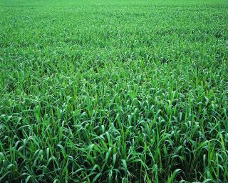 pict-麦畑-1