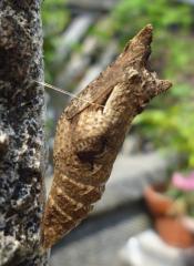 pict-P1030830モンシロチョウの蛹(1)