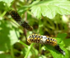 pict-P1030818キアゲハ幼虫(3齢~5齢へ)