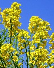 pict-菜の花-1