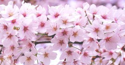 桜花満開-2