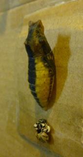 pict-P1030920キアゲハのサナギ