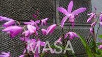 s-紫蘭DSC_0029